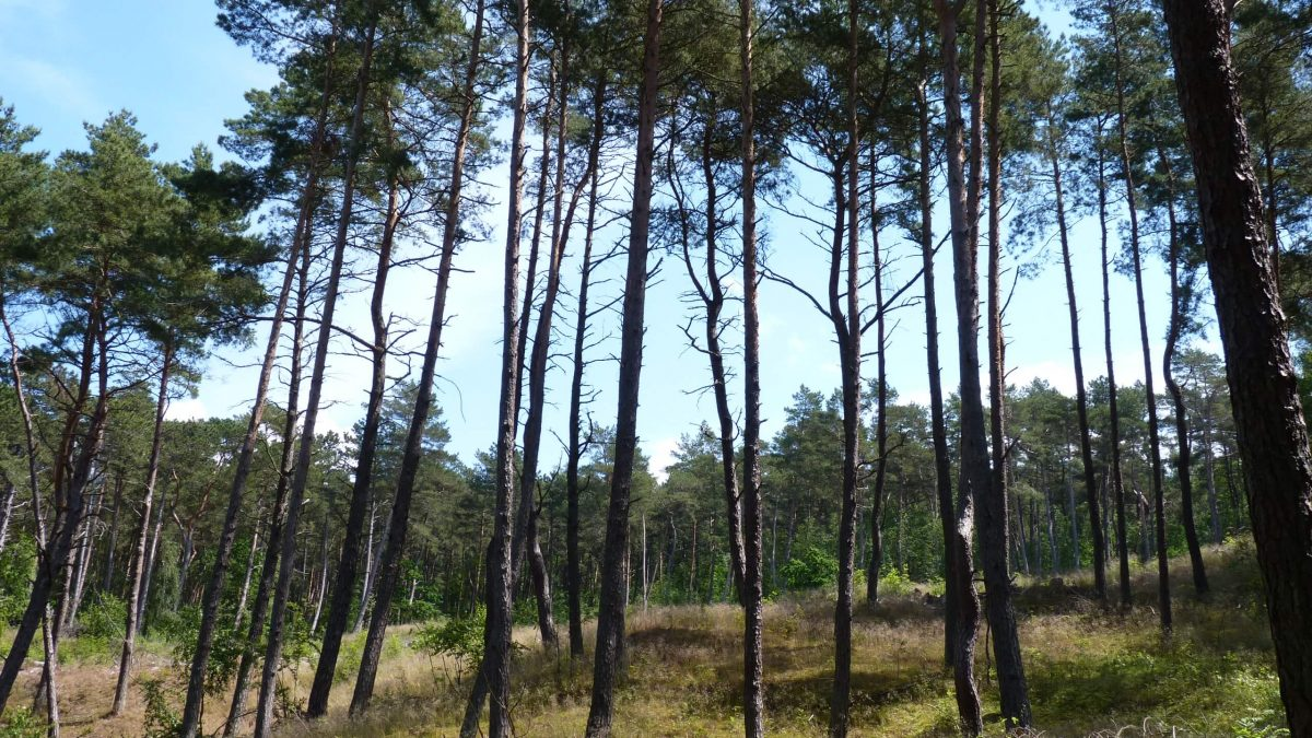 Forest in Piaski
